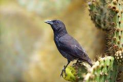 kaktusowy pospolity finch Galapagos zdjęcie royalty free