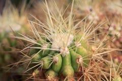 Kaktusowy przyrost dłudzy ciernie Zdjęcie Stock