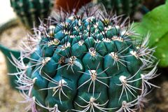 Kaktusowy ro?lina li?ci wz?r zielone li?cie Naturalny t?o t?a zielona li?? tekstura obraz royalty free