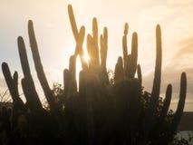 Kaktusowy roślina zmierzch Obraz Royalty Free
