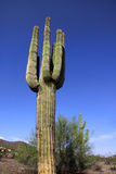 kaktusowy saguaro Obrazy Stock