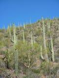 kaktusowy saguaro Obraz Stock