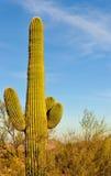 kaktusowy saguaro Zdjęcia Royalty Free