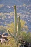 kaktusowy saguaro Obrazy Royalty Free