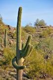 kaktusowy saguaro Zdjęcie Royalty Free