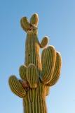 kaktusowy saguaro Fotografia Stock