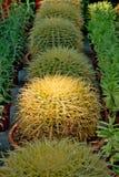 Kaktusowy tło Fotografia Royalty Free