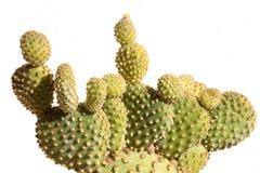 kaktusowy tło biel Zdjęcia Stock