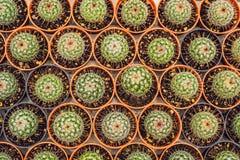 Kaktusowy tło wzór Mali kaktusy w garnkach Zdjęcie Royalty Free