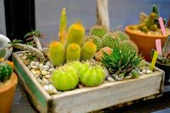 Kaktusowy taca ogród Zdjęcie Stock