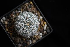 Kaktusowy topview Fotografia Stock