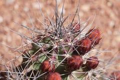 Kaktusowy zaczynać kwitnąć Fotografia Stock