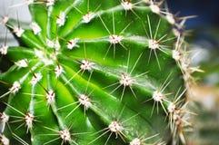 Kaktusowy zakończenie Obrazy Royalty Free