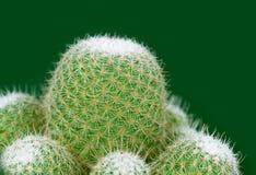 Kaktusowy zbliżenie. Obraz Stock