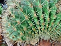 Kaktuspflanze Lizenzfreie Stockbilder