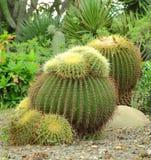 Kaktuspflanze Lizenzfreie Stockfotografie