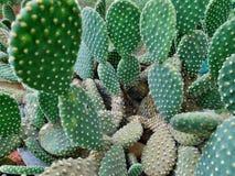 Kaktuspflanze-Beschaffenheit Stockfoto