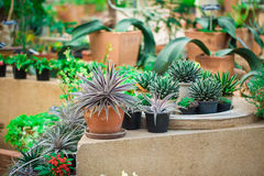 Kaktuspflanze im Garten natürlich. Stockbild