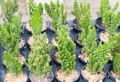 Kaktuspflanze im kleinen Topf, ausgewählter Fokus Lizenzfreie Stockfotos