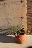 Kaktuspflanze im Tongefäß stockfotos