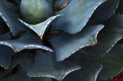 Kaktuspflanze in Mexiko-Wüste Lizenzfreie Stockfotografie