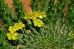Kaktuspflanze mit gelber Blume Stockfoto