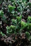 Kaktuspflanze mit Kaktusfeigen, grüne Farbe des Dornenbaums am natürlichen Garten lizenzfreie stockbilder