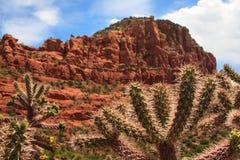 Kaktuspflanze in Sedona Arizona Stockbild