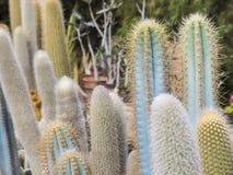 Kaktuspflanzen auf den Kanarischen Inseln für unterschiedlichen Zweckgebrauch Lizenzfreies Stockbild