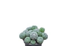 Kaktuspflanzen auf lokalisiertem Hintergrund Lizenzfreie Stockfotos