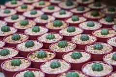 Kaktuspflanzen, die in den Hülsen wachsen Stockfoto