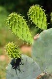 Kaktuspflanzen schließen oben in einem saftigen Garten stockbilder