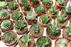 Kaktusplantage Lizenzfreies Stockbild