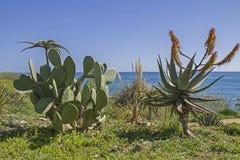 Kaktuspracht auf dem Riviera Stockfotos