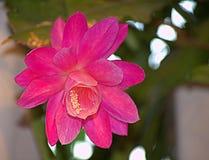Kaktusrosa färgblomning Arkivbild