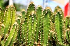Kaktussäulenkaktus im Garten im Frühjahr stockbilder