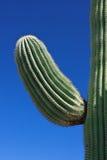 kaktussaguaro Royaltyfri Foto
