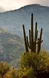 kaktussaguaro Arkivfoto