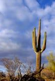 kaktussaguaro Arkivbild