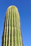 kaktussaguaro Arkivbilder