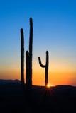 kaktussaguarosolnedgång fotografering för bildbyråer