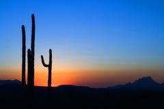 kaktussaguarosolnedgång royaltyfria foton