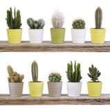 Kaktussamling på trähyllor som isoleras på vit Royaltyfri Bild