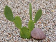 Kaktusslutet för det taggiga päronet som ser upp som Mickey Mouse, gå i ax i den Arizona öknen Opuntiaen är ett släkte i kaktusfa Arkivfoto