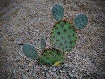 Kaktusslutet för det taggiga päronet som ser upp som Mickey Mouse, gå i ax i den Arizona öknen Opuntiaen är ett släkte i kaktusfa Royaltyfri Bild