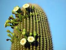 kaktussommar Royaltyfri Fotografi