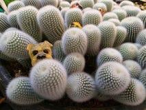 Kaktusspezies Kaktus stieg Felsen saftig Sulcorebutia Haworthia Astrophytums-myriostigma lizenzfreie stockfotos
