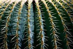 kaktustaggar Fotografering för Bildbyråer