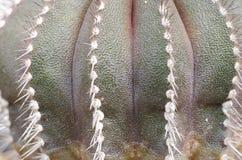 Kaktustexturbakgrund Royaltyfri Foto