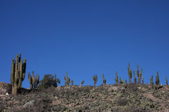 kaktustilcara Arkivfoton